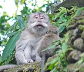 Macaco a educar filho - Monkey Forest - Bali Indonesia