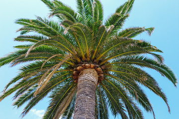 One palm tree on a clear blue sky background. Trunk of palm going into the light blue sky.