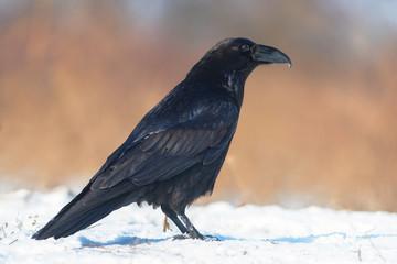 Raven (Corvus corax) with beak deformity