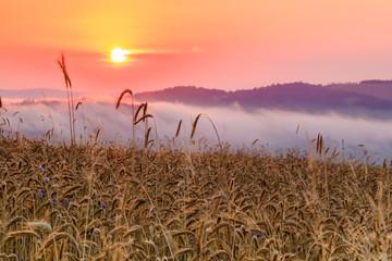 wschód słońca w zbożu 1