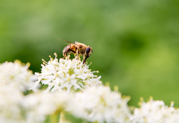 Honey bee on a white and yellow flower with a green background.