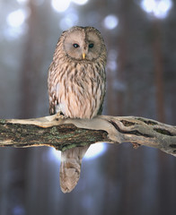 Ural owl (Strix uralensis) on natural background