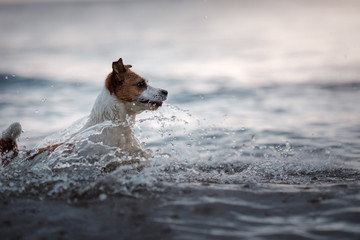 Dog Jack Russell Terrier running in water
