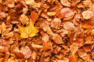 Autumn day in a beech forest. Beech leaves.