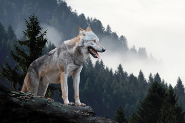 Fotobehang Wolf Wolf in mountains