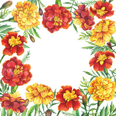 Square frame with flowers Tagetes patula, the French marigold (Tagetes erecta, Mexican marigold). Red, yellow marigold. Watercolor hand drawn painting illustration isolated on white background.