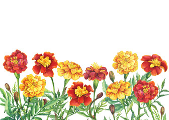 Border with flowers Tagetes patula, the French marigold (Tagetes erecta, Mexican marigold). Red, yellow marigold. Watercolor hand drawn painting illustration isolated on white background.