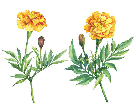 Set flowers Tagetes patula, the French marigold (Tagetes erecta, Mexican marigold). Yellow marigold. Garden flowering plant. Watercolor hand drawn painting illustration isolated on white background.