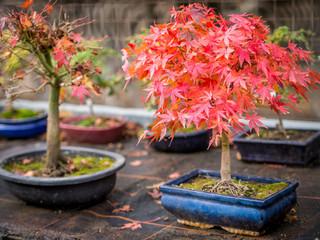 Bonsai Aufzucht im Herbst