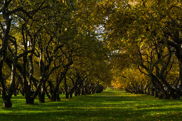 Old apple orchard in autumn