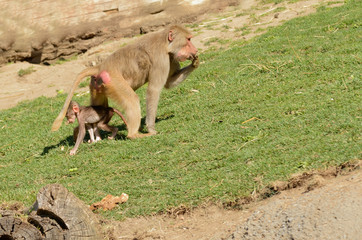 Female Olive Baboon with her young feeding