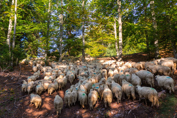 Wall Murals Sheep Flock of sheep in the forest