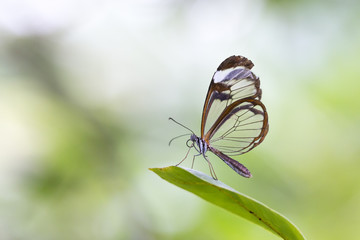 Close up of Greta oto, the glasswinged butterfly