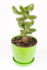 Feng shui money tree or crasula ovata isolated over white background