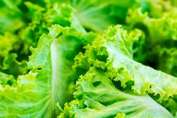 Green Lettuce Leaves