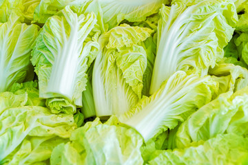 Chinese cabbage or Napa cabbage