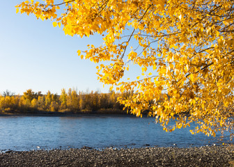 Bright gold autumn leaves in the foreground with the Yellowstone River in the background. The distant riverbank also shows fall foliage.