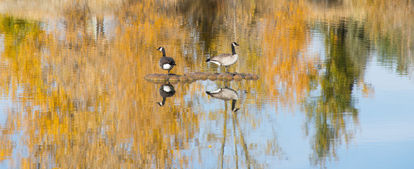Two Canadian Geese each standing on one leg on a man made island in a pond. The fall foliage of deciduous trees is reflected in the water.