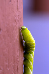 This big green Caterpillar with a blue horn is the larva of a Sphinx Moth, photographed in Santa Fe, New Mexico, USA