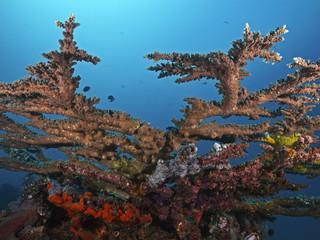 Table Coral, Tischkoralle (Acropora pharaonis)