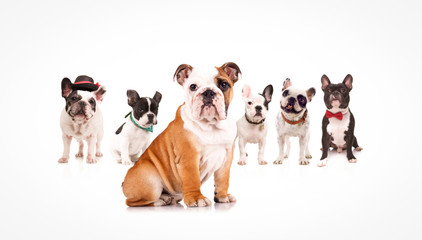 english bulldog puppy leading a team of french bulldogs