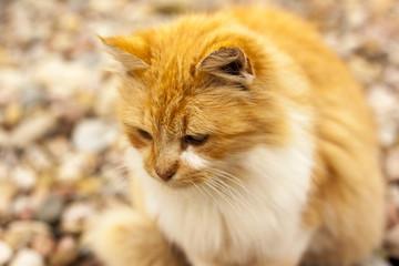 домашнее животное, кот, окрас рыжий с белыми пятнами, находится на улице, крупный план