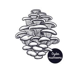 Vintage engravings Oyster mushroom.
