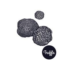 Vintage engravings mushroom Black Truffle.