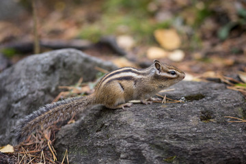 a Chipmunk eats a nut in a forest in the taiga.