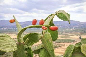 Kaktusfeigen, Kaktus Feigen, prickly pears, griechenland