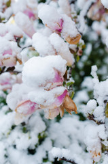 Early spring and snow  covered on magnolia tree and flowers
