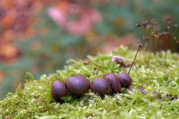 Lycogala epidendrum slime mold