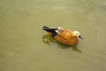 Duck floating in the pond