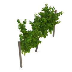 vineyard with ripe grapes on white. 3D illustration