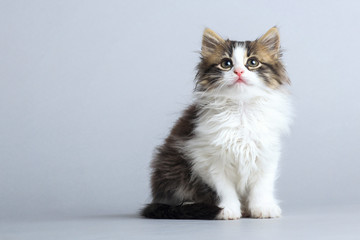 portrait of a small fluffy kitten looking up on a gray studio background