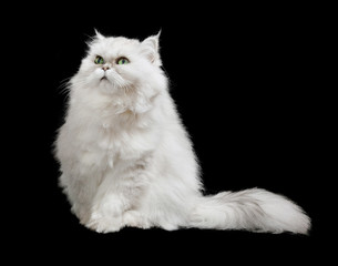 white cat isolated on black background
