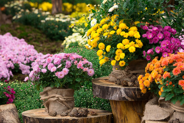 bouquet of beautiful chrysanthemum flowers outdoors