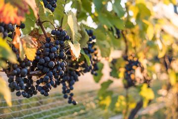 Plantacja winogron.
