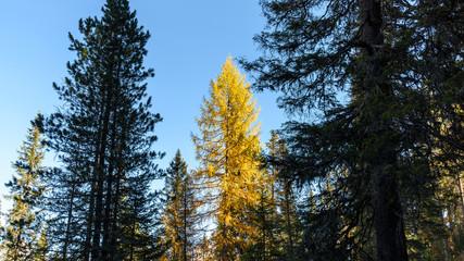 Dolomites. Wonder in the larch forest. Autumn...