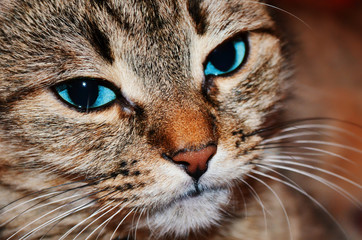 Beautiful home cat close-up of blue eyes