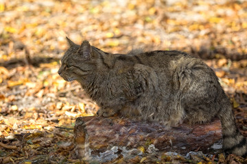 European wildcat in the forest