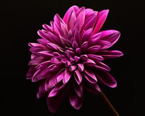 Single Purple Dahlia Bloom 0917