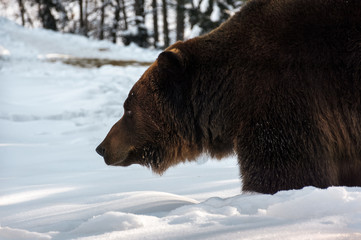 old brown bear hunting in winter forest. animal searching for food