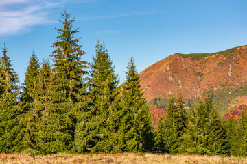 spruce forest at the foot of a mountain ridge. ravishing nature scenery in autumn