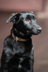 beautiful black puppy on brown floor background