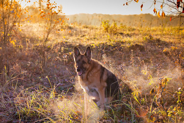 German Shepherd dog sitting on background of autumn landscape at dawn