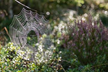 Spindelnät med dagg i skogen