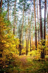 Trees and bushes with yellowed leaves among the tall pines in the autumn forest.