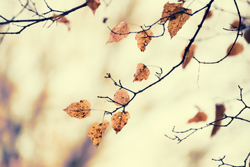 the last dry leaves on the branches of the birch. Cloudy autumn natural background.