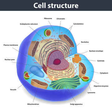 The structure of human cells, vector illustration